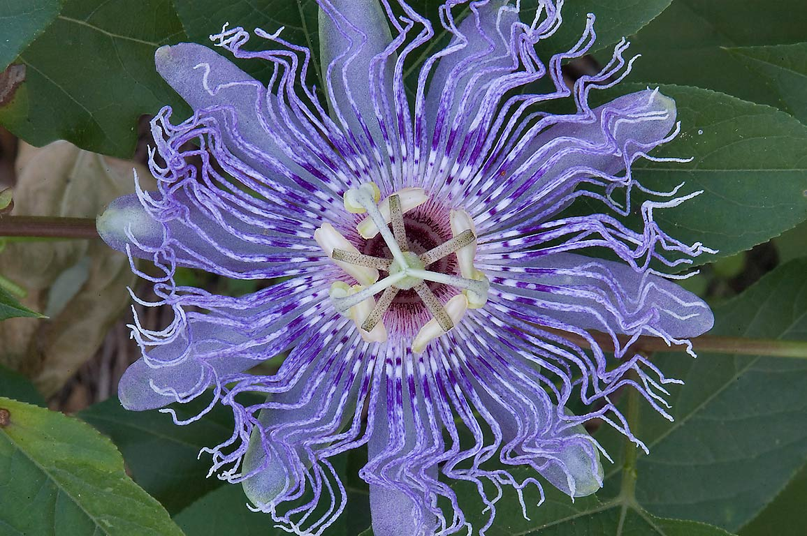 Close-up of passion flower (passiflora, maypop...Creek Park. College Station, Texas