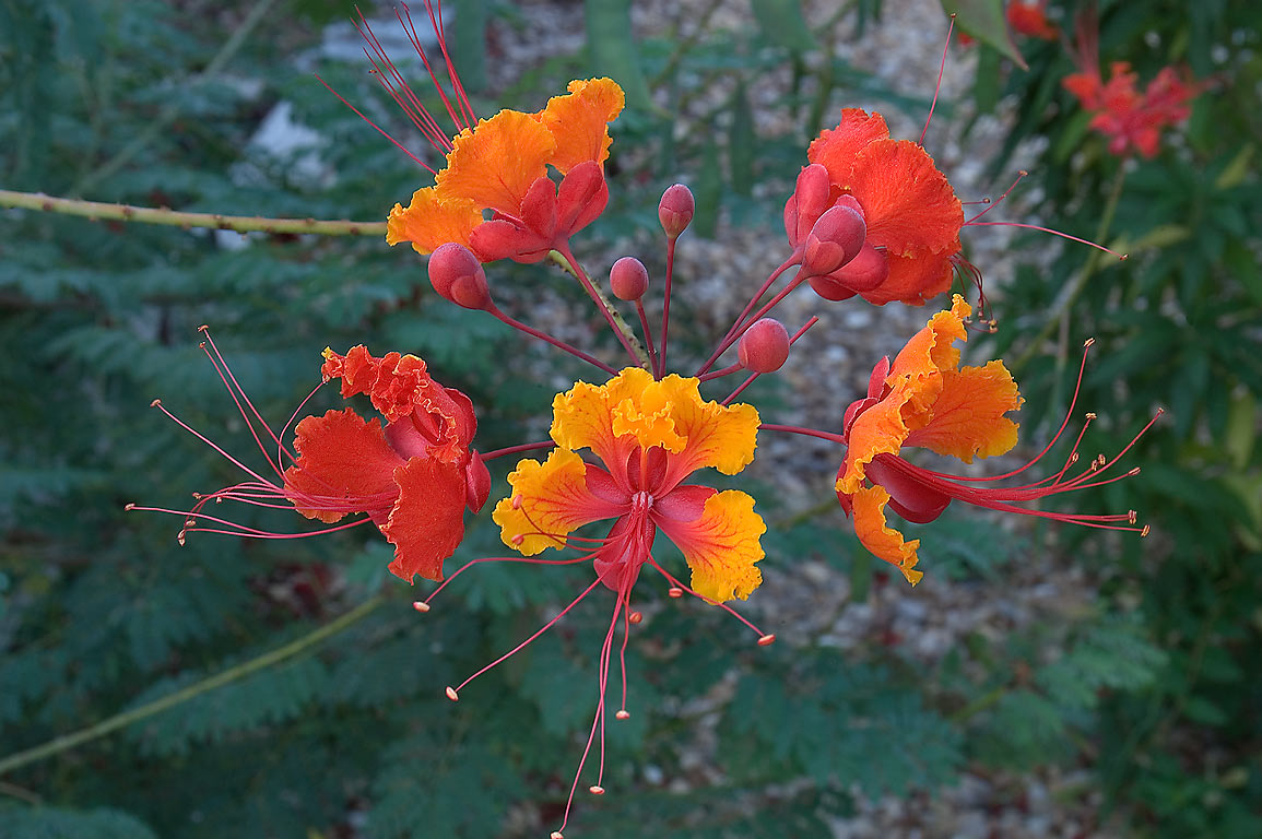 Flowers of Caesalpinia pulcherrima (red bird of...M University. College Station, Texas