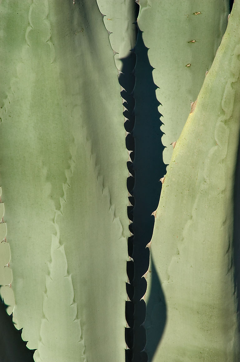 Leaves of agave in TAMU Horticultural Gardens in...M University. College Station, Texas