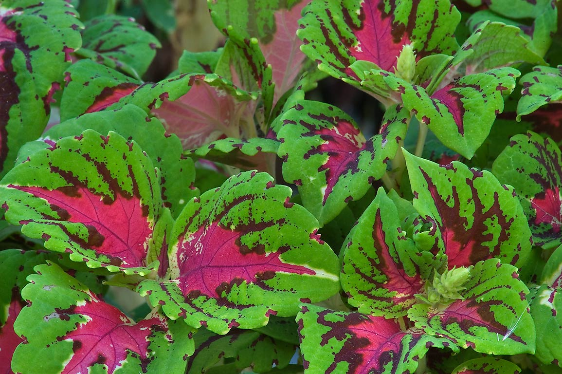 Coleus (Solenostemon scutellarioides) in TAMU...M University. College Station, Texas