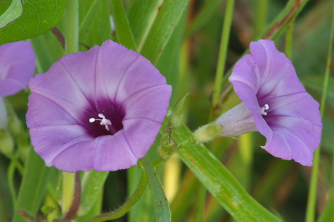 Morning Glory (Purple Bindweed, Ipomoea...State Historic Site. Washington, Texas