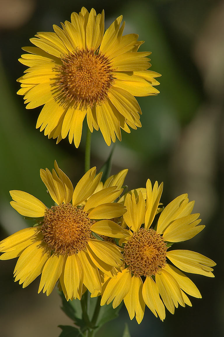 Flowers of cowpen daisy (golden crownbeard...State Historic Site. Washington, Texas