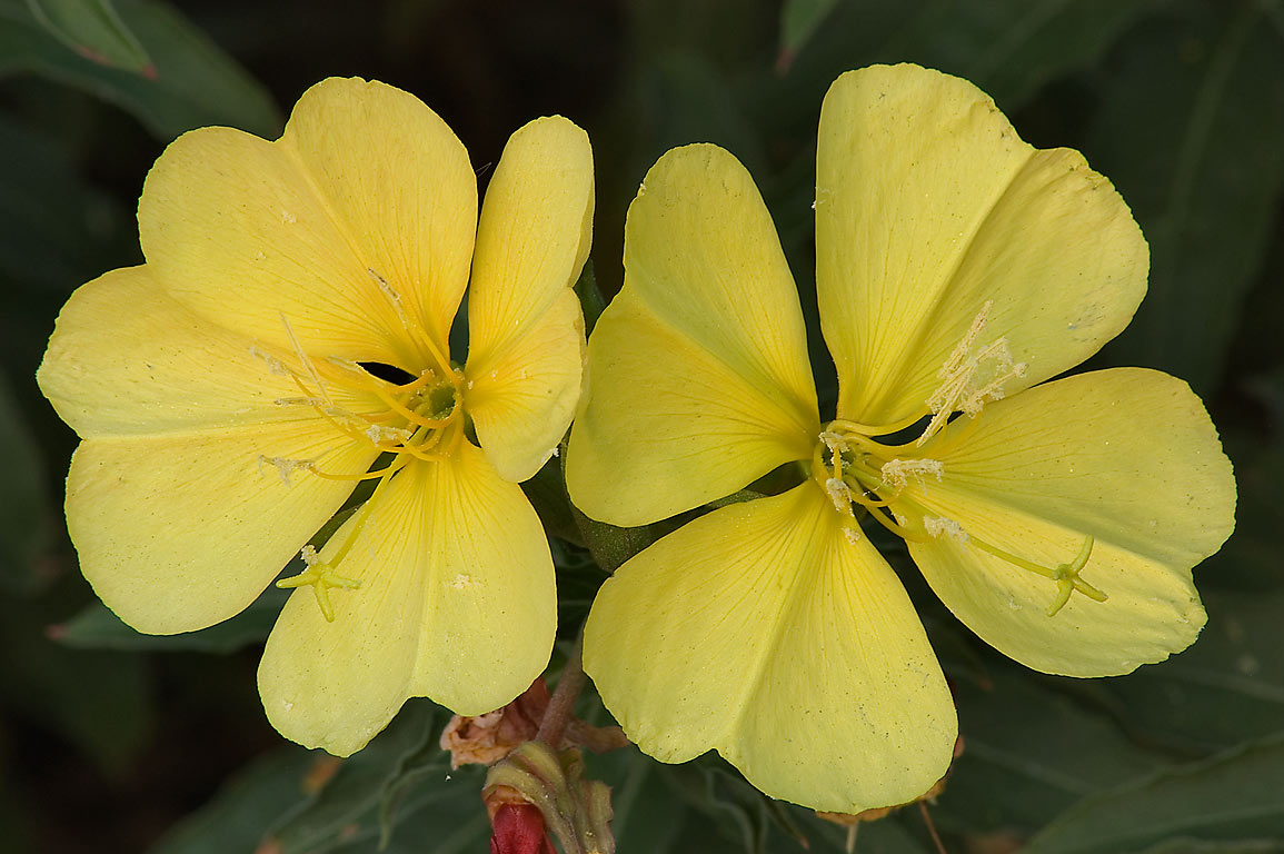 Hooker's evening primrose (Oenothera hookeri) in...M University. College Station, Texas