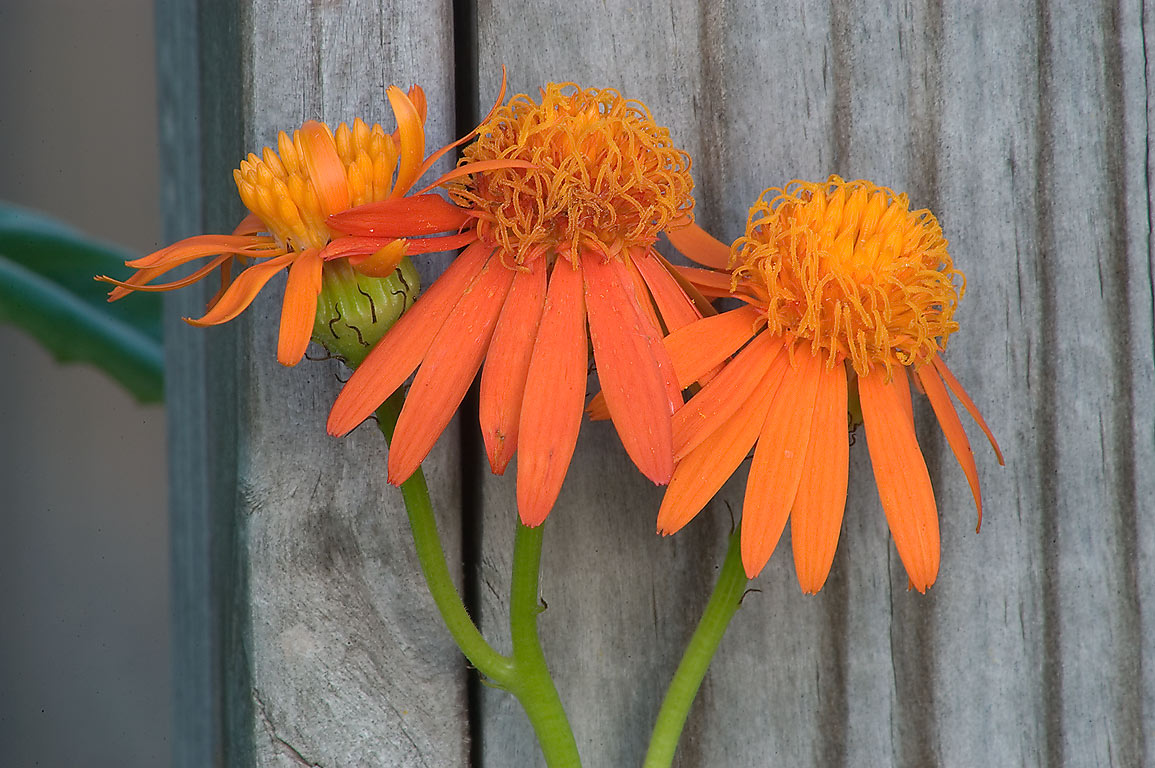 Senecio confusus (Mexican flame vine...M University. College Station, Texas