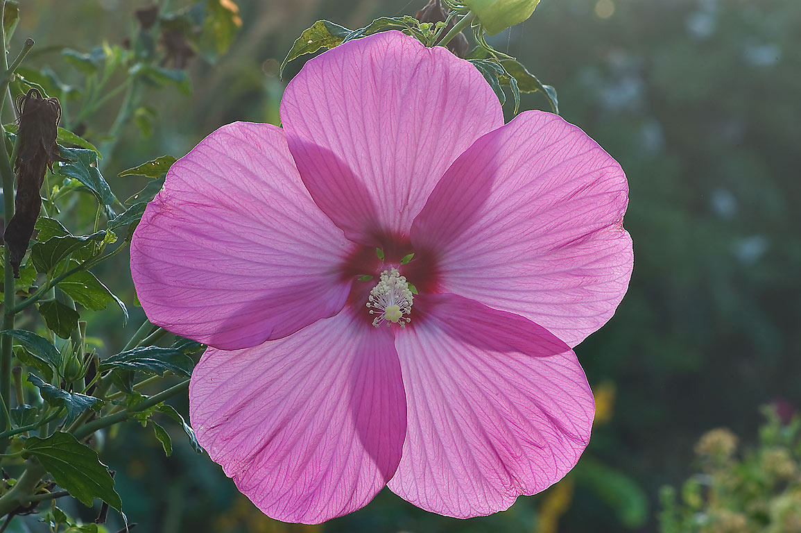 Rose mallow at sunrise in TAMU Horticultural...M University. College Station, Texas