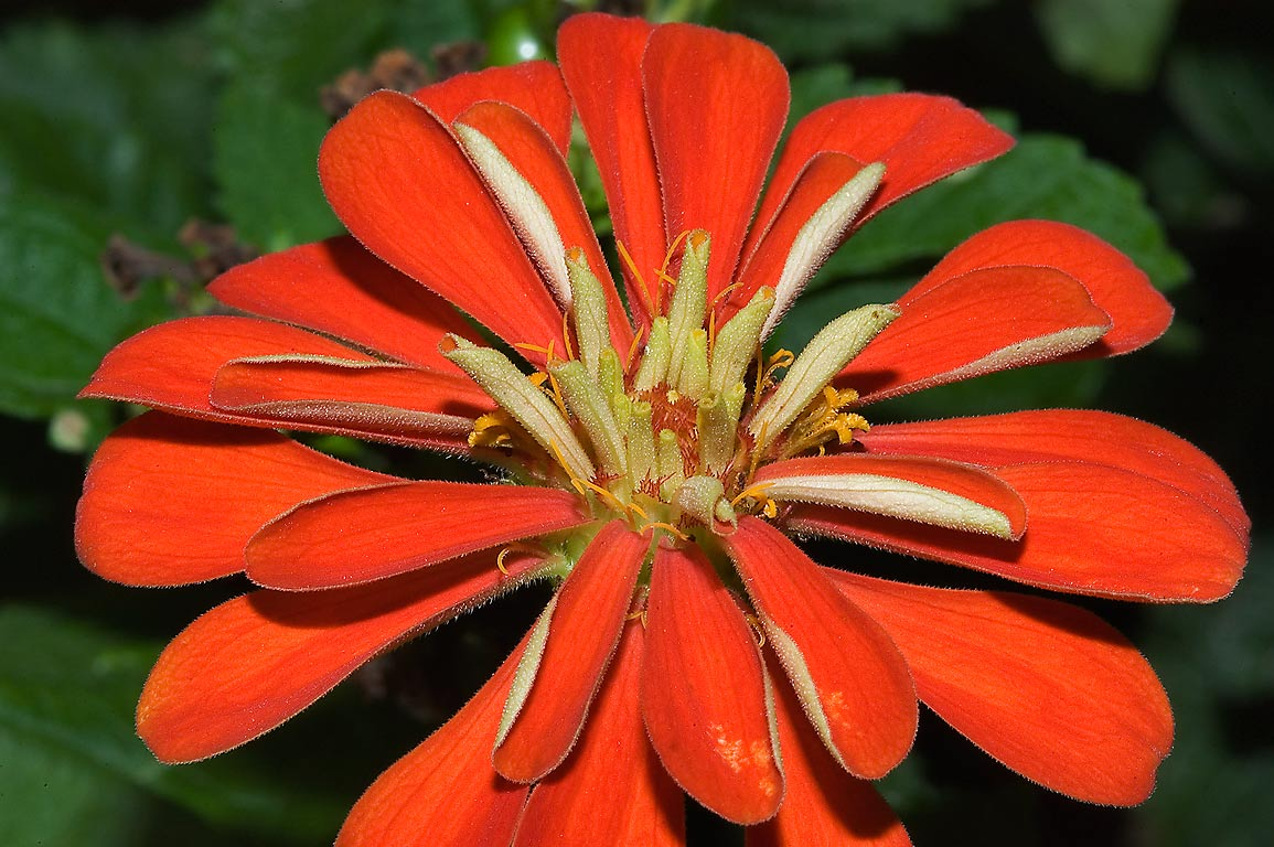 Red zinnia like flower in TAMU Horticultural...M University. College Station, Texas