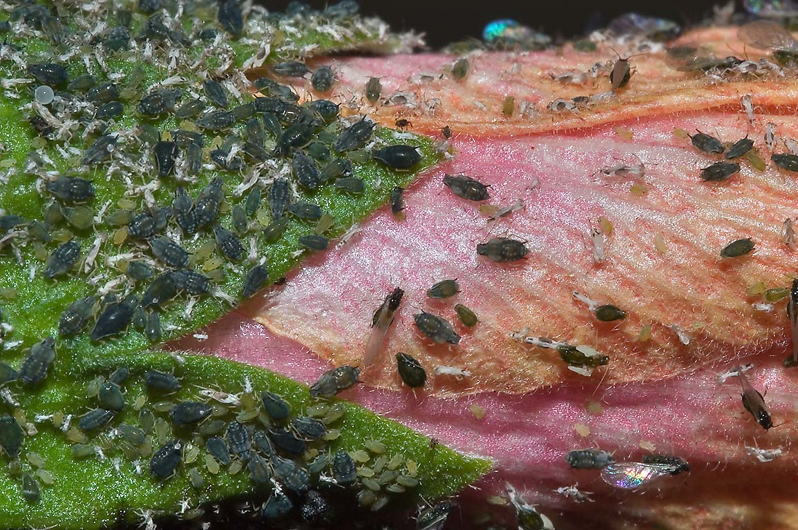 Aphids on rose mallow in TAMU Holistic Garden in...M University. College Station, Texas
