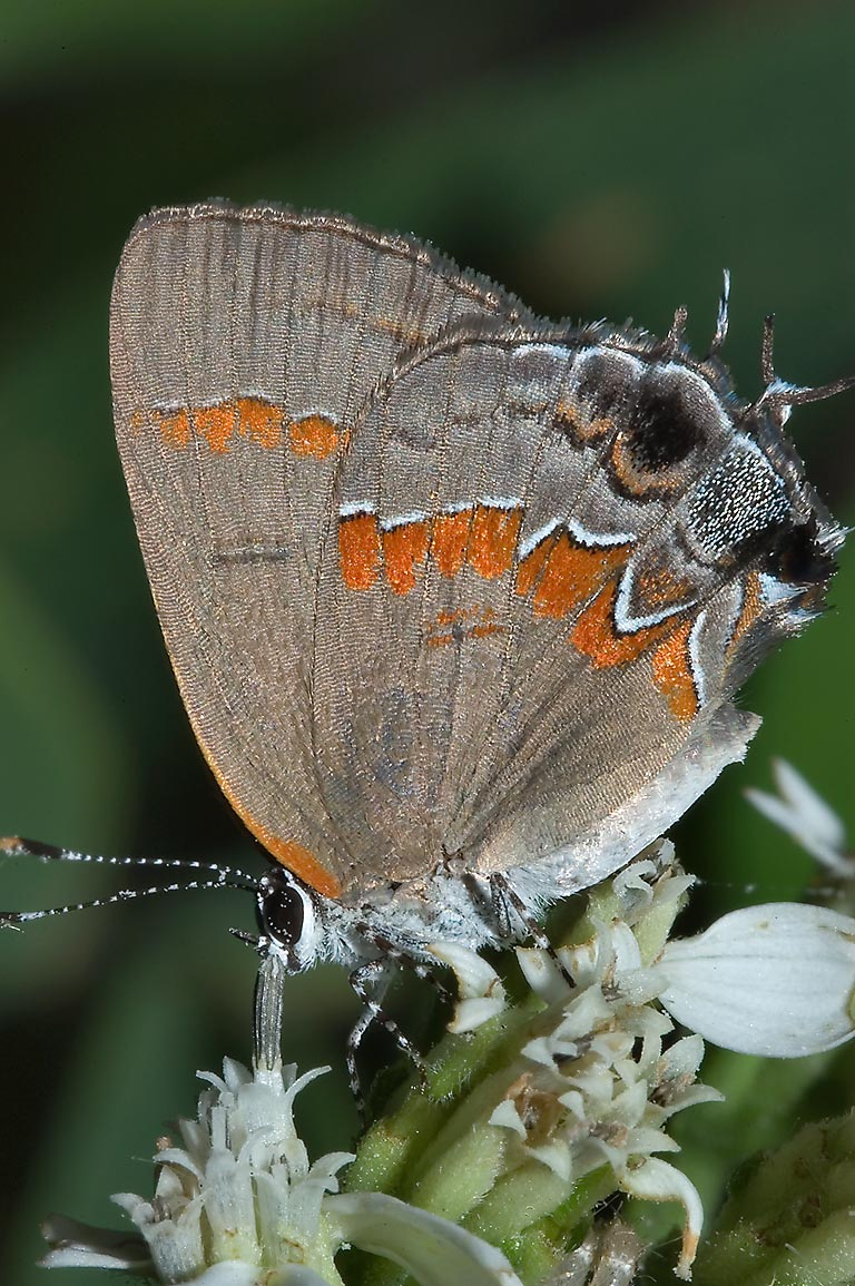 Red-banded Hairstreak (Calycopis cecrops...Creek Park. College Station, Texas