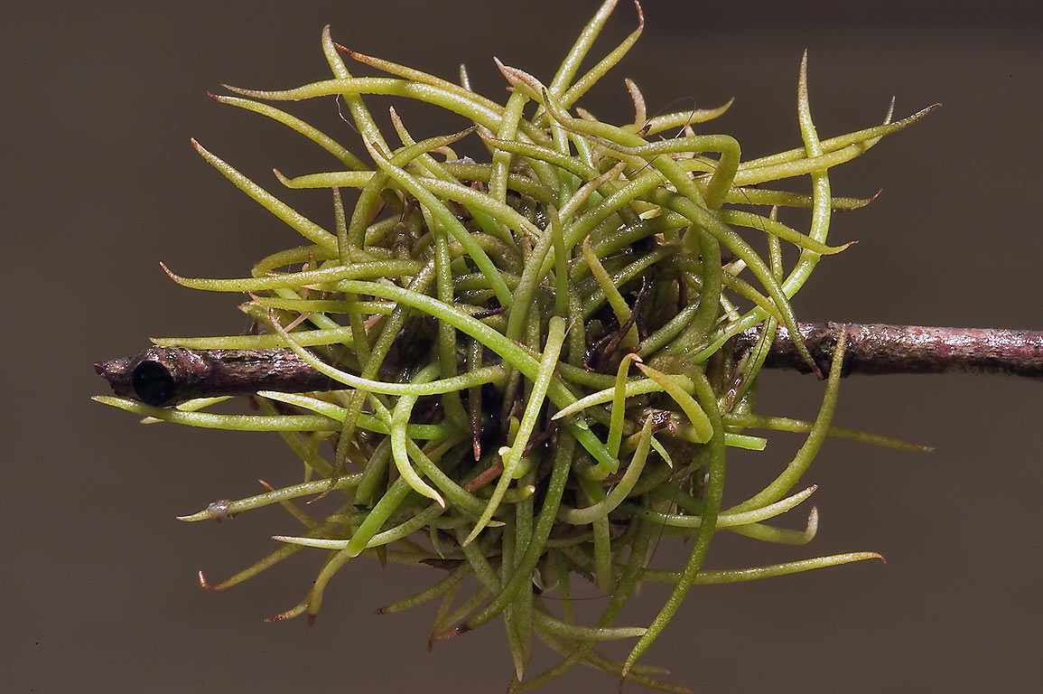 "Ball moss (Tillandsia recurvata) with wiry spider...storm ""Ike"". College Station, Texas"