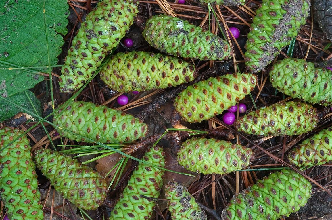 Pine cones and berries knocked down by a passed...National Forest. Huntsville, Texas
