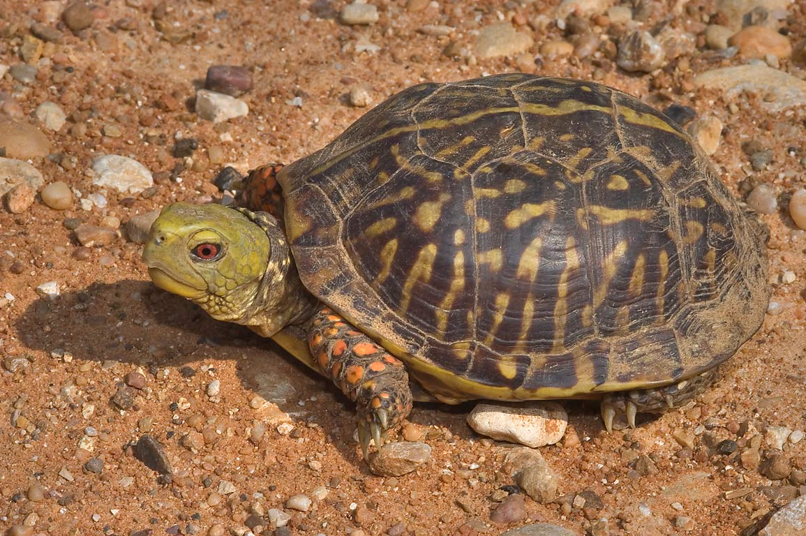 Male box turtle crossing Rd. 259, west from Calvert. Texas