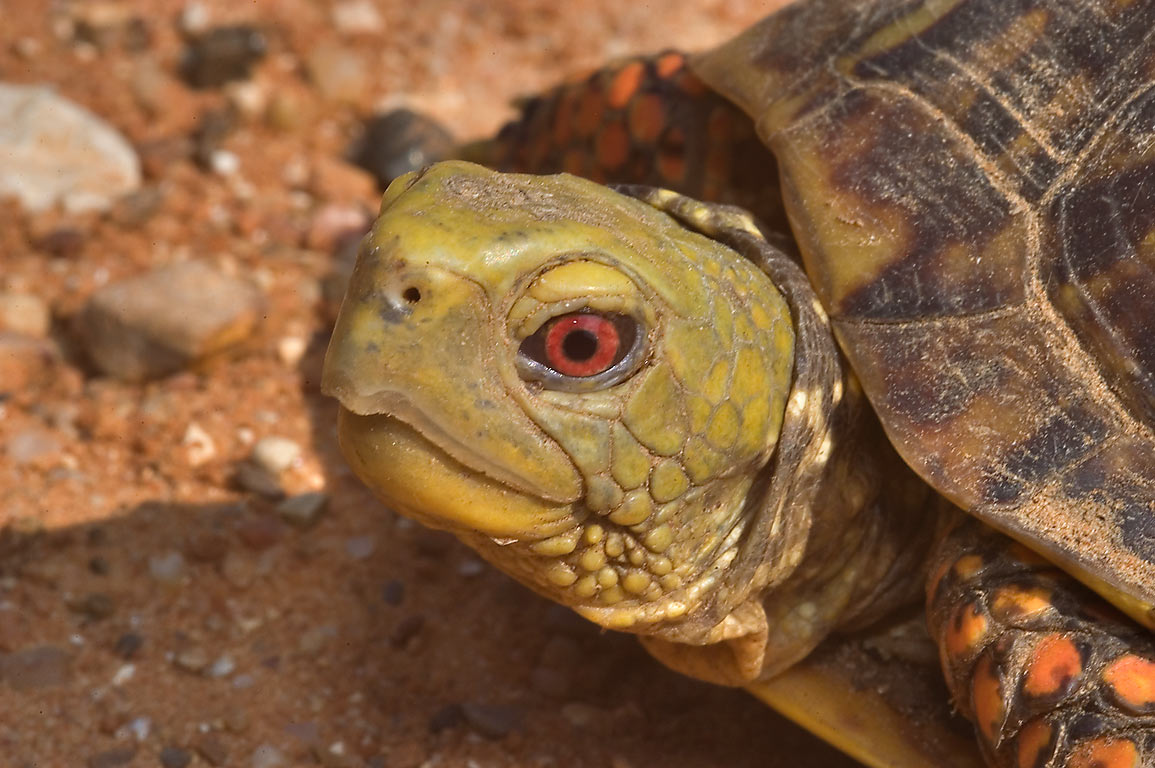Close-up of a red-eyed box turtle crossing Rd. 259, west from Calvert. Texas
