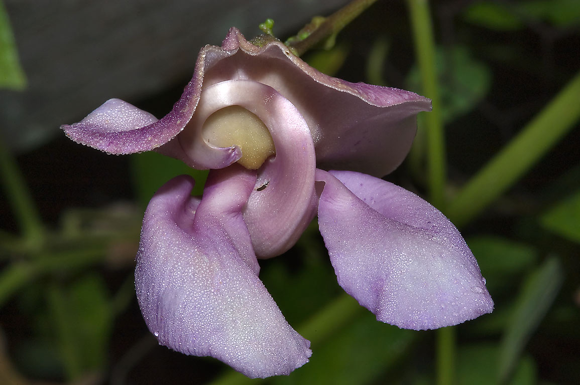 Snail vine (Phaseolus giganteus, Vigna) in TAMU...M University. College Station, Texas