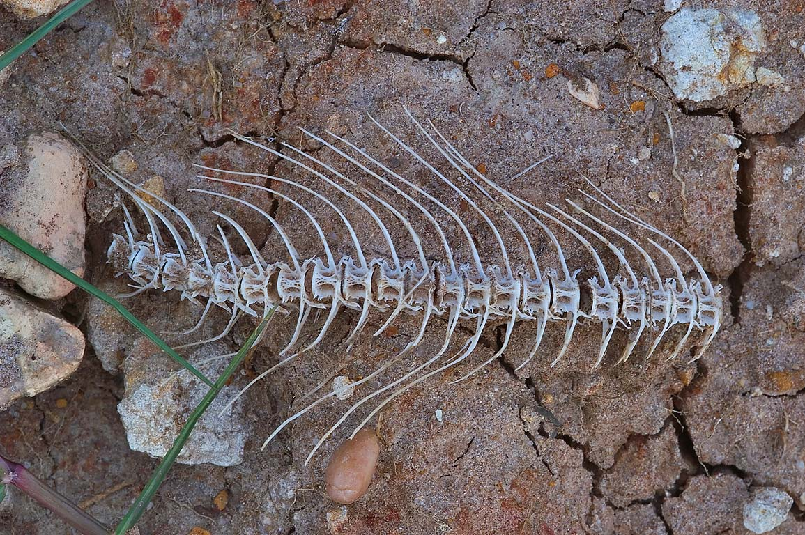 Fish skeleton on north shore of Lake Somerville. Texas