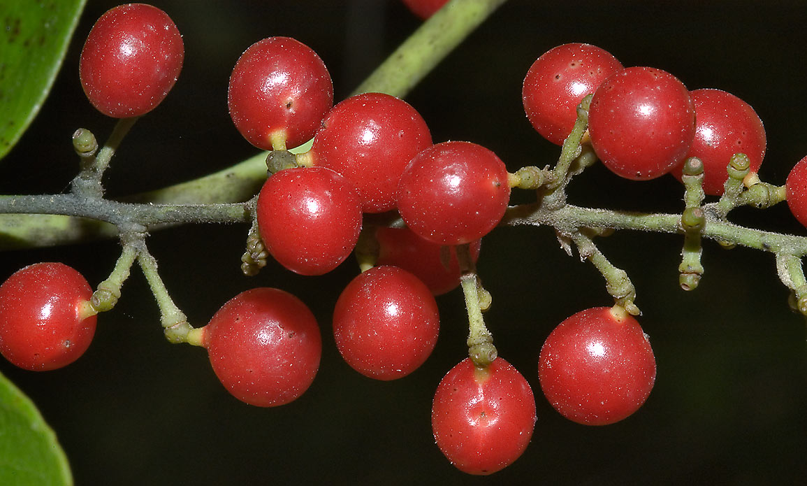 Red berries of Carolina moonseed vine (Cocculus...State Historic Site. Washington, Texas