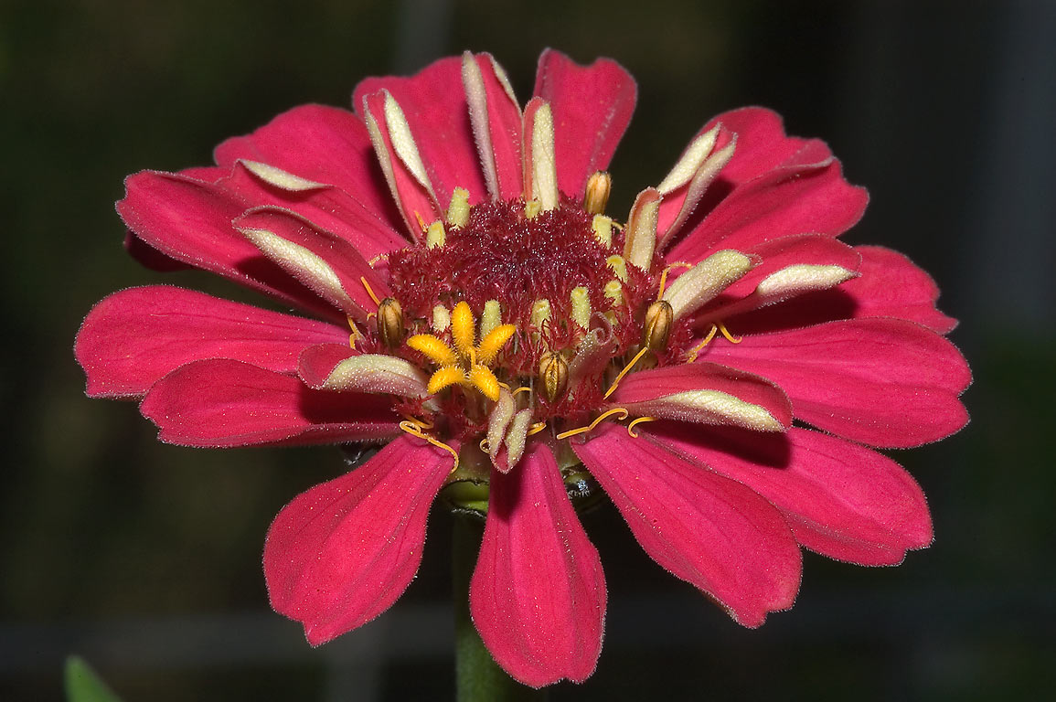 Zinnia like flower in TAMU Horticultural Gardens...M University. College Station, Texas