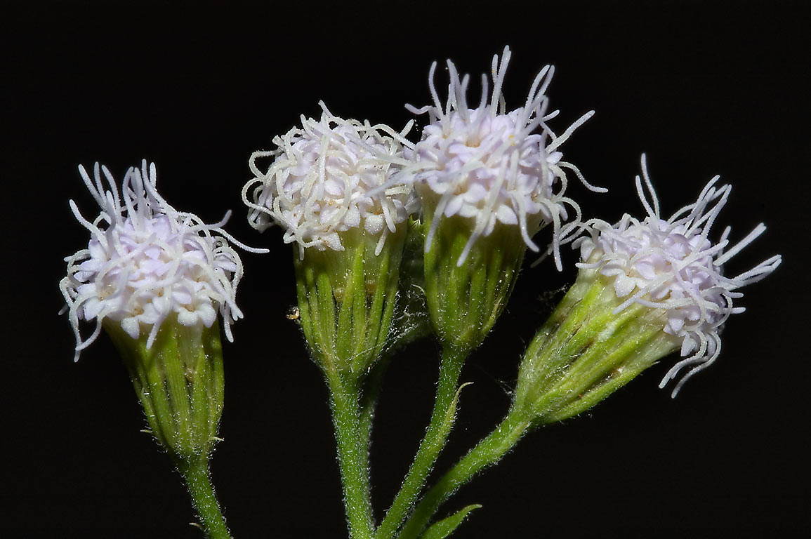 White mistflower (Havana snakeroot, Ageratina...Creek Park. College Station, Texas