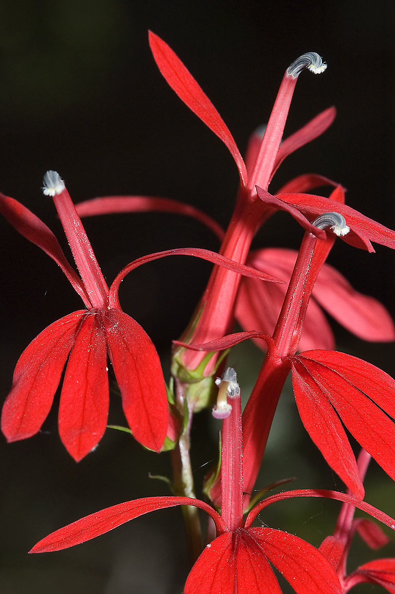 Cardinal flower (Lobelia cardinalis) in Alligator...State Park on Chinquapin Trail. Texas