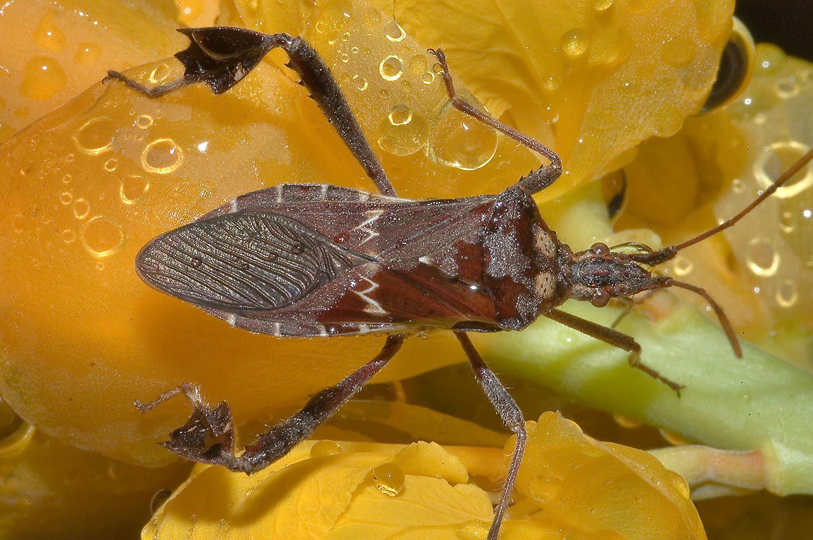 Leaf-footed bug (Leptoglossus zonatus) on a...M University. College Station, Texas