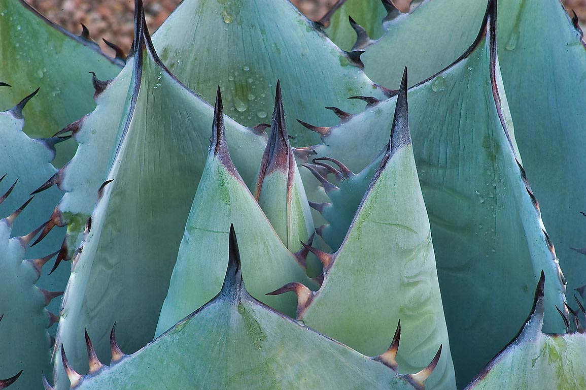 Leaves of Cabbage head agave (Agave parrasana) in...M University. College Station, Texas
