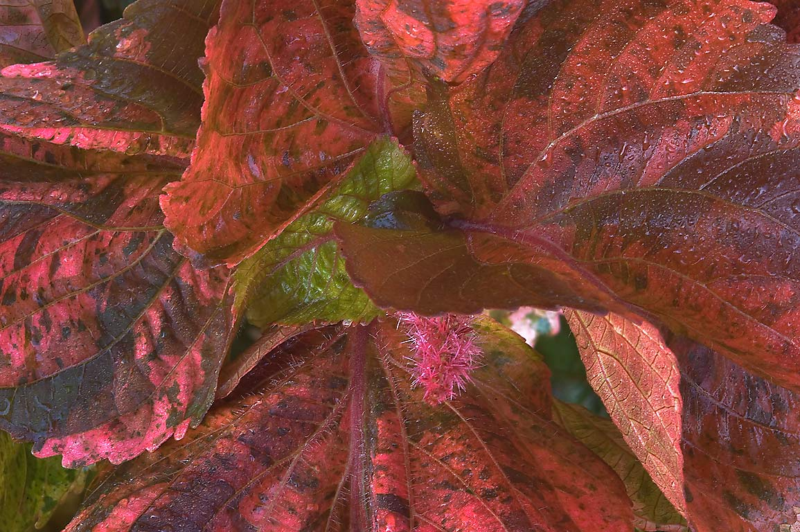 Multicolored leaves of Acalypha wilkesiana in...M University. College Station, Texas