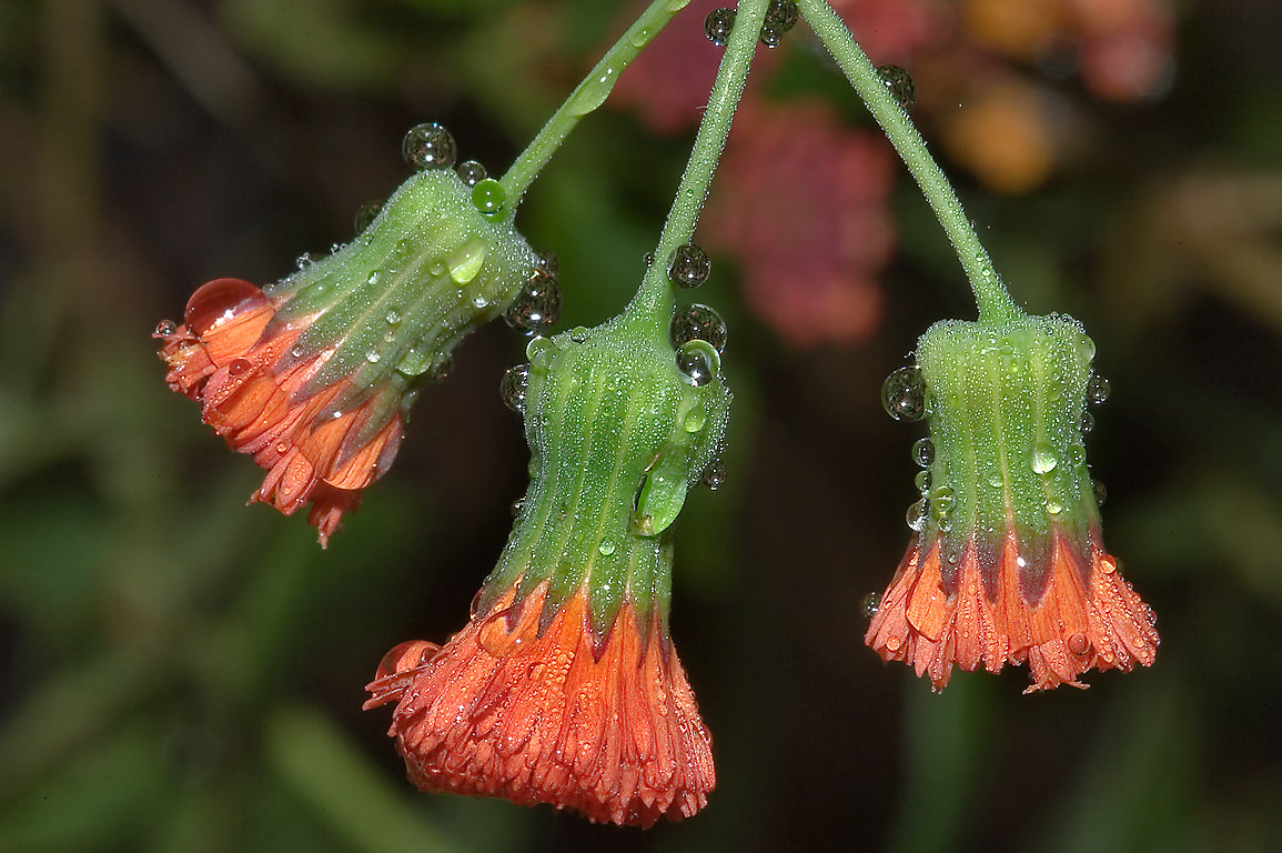 Red tassel flowers (Emilia javanica, Cacalia...M University. College Station, Texas
