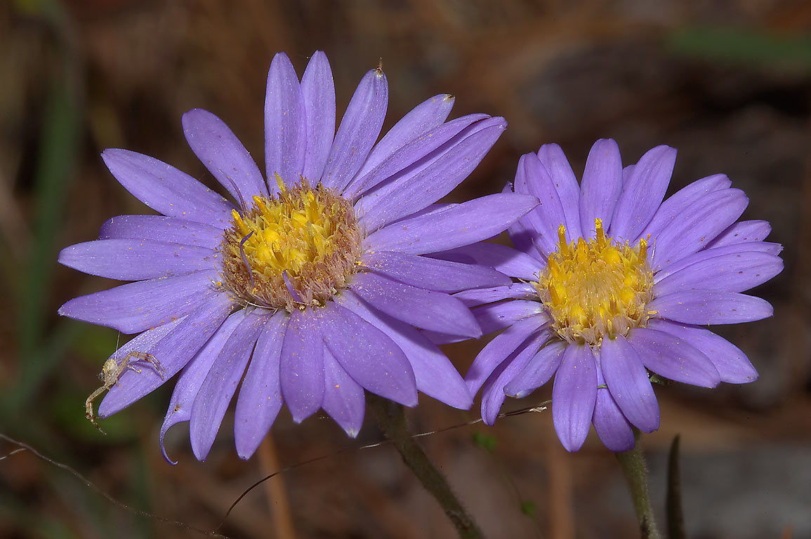 Aster flowers in Big Thicket park on Sundew Trail. Texas