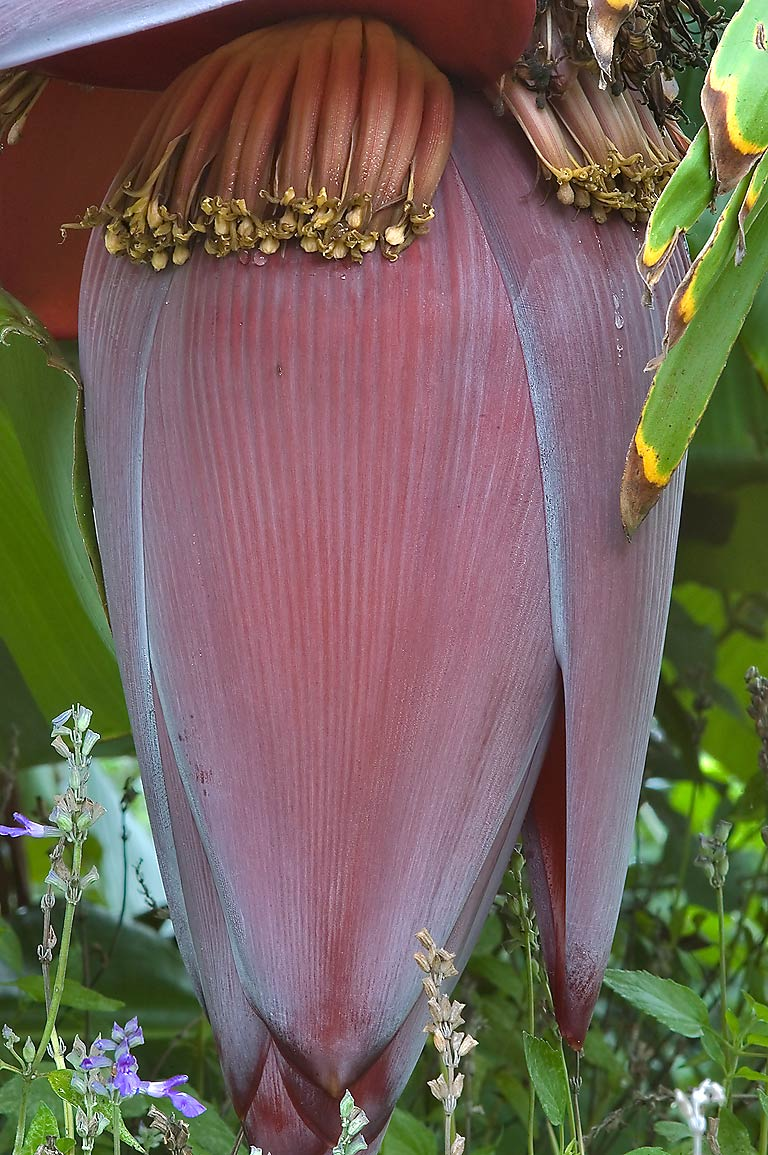 Banana flower in TAMU Horticultural Gardens in...M University. College Station, Texas