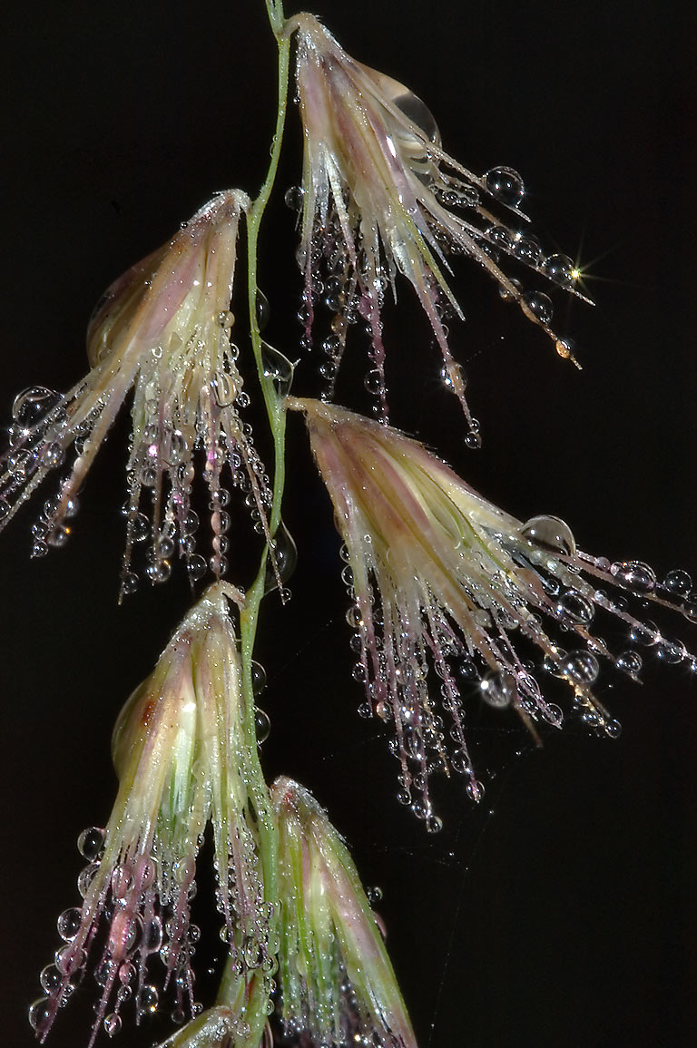 Texas grama grass (Bouteloua rigidiseta) in dew...State Historic Site. Washington, Texas
