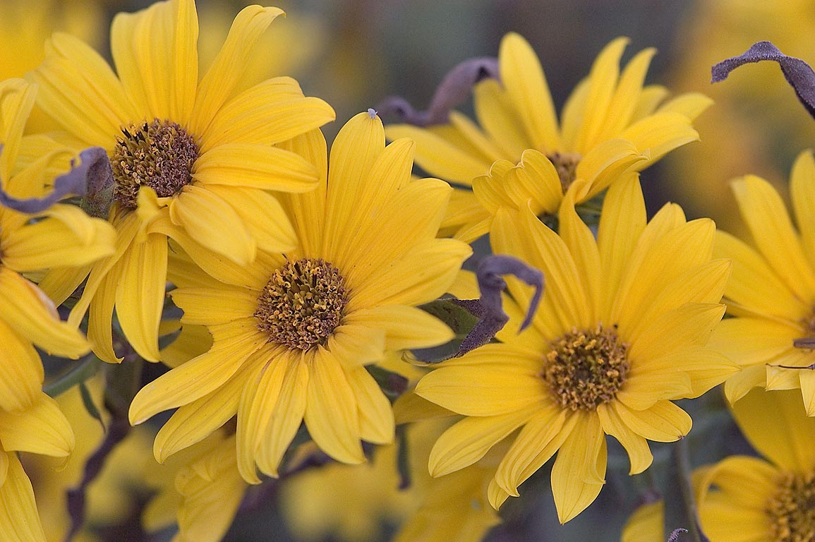 Sunflowers in TAMU Horticultural Gardens in Texas...M University. College Station, Texas