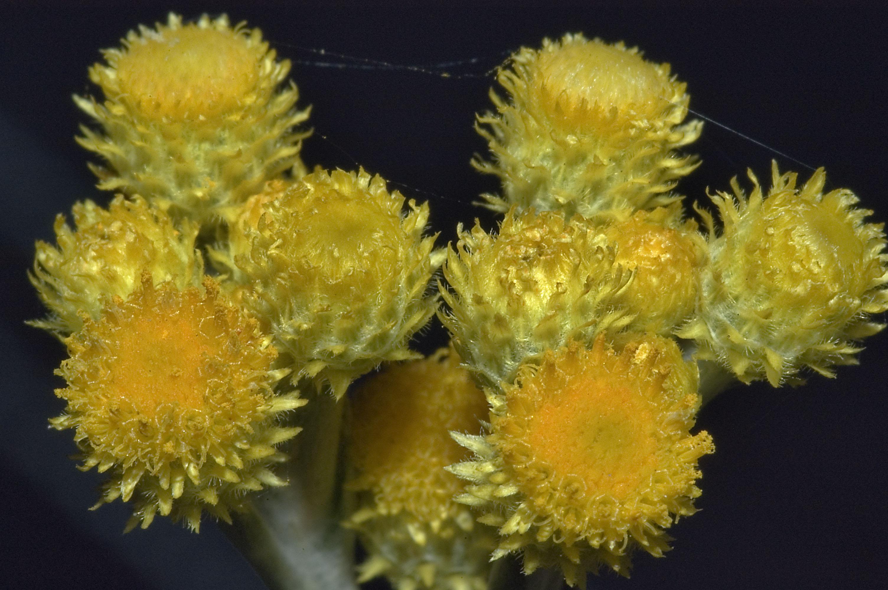 Photo 679 23 Small Yellow Flowers Of Helichrysum Italicum