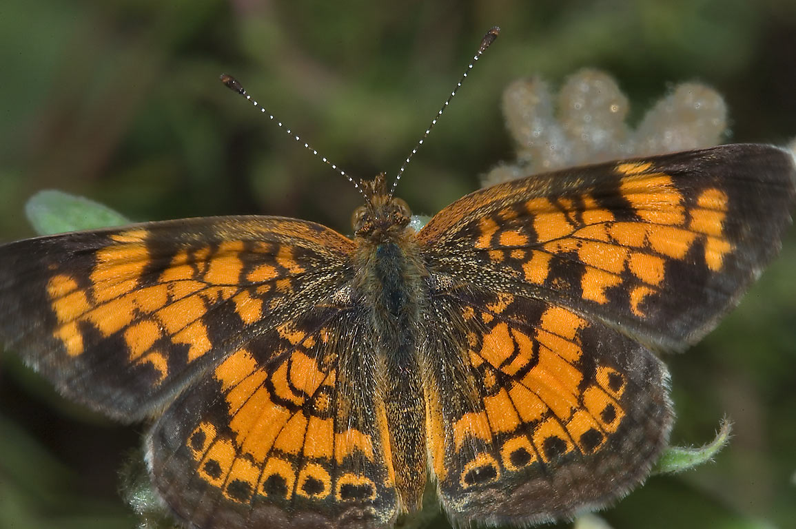 Pearl crescent butterfly (Phyciodes tharos ) in Lick Creek Park. College Station, Texas