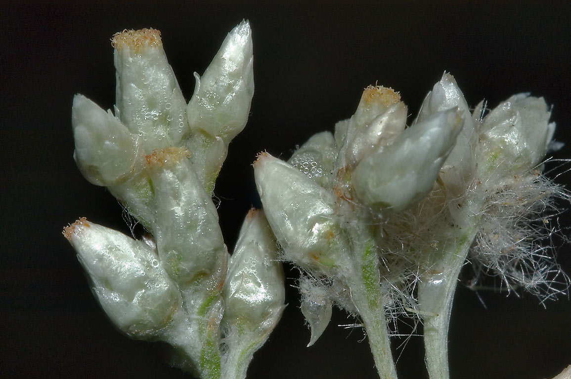 Silky flower heads of fragrant cudweed (sweet...Creek Park. College Station, Texas