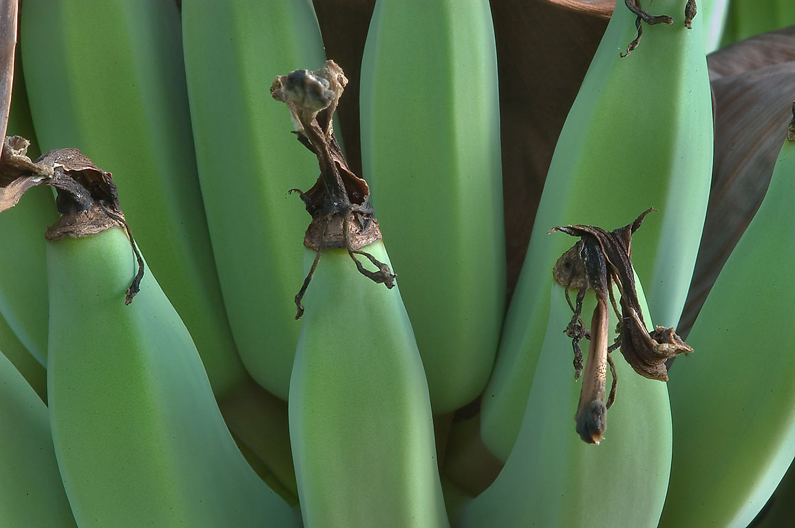 Banana fruits in TAMU Horticultural Gardens in...M University. College Station, Texas