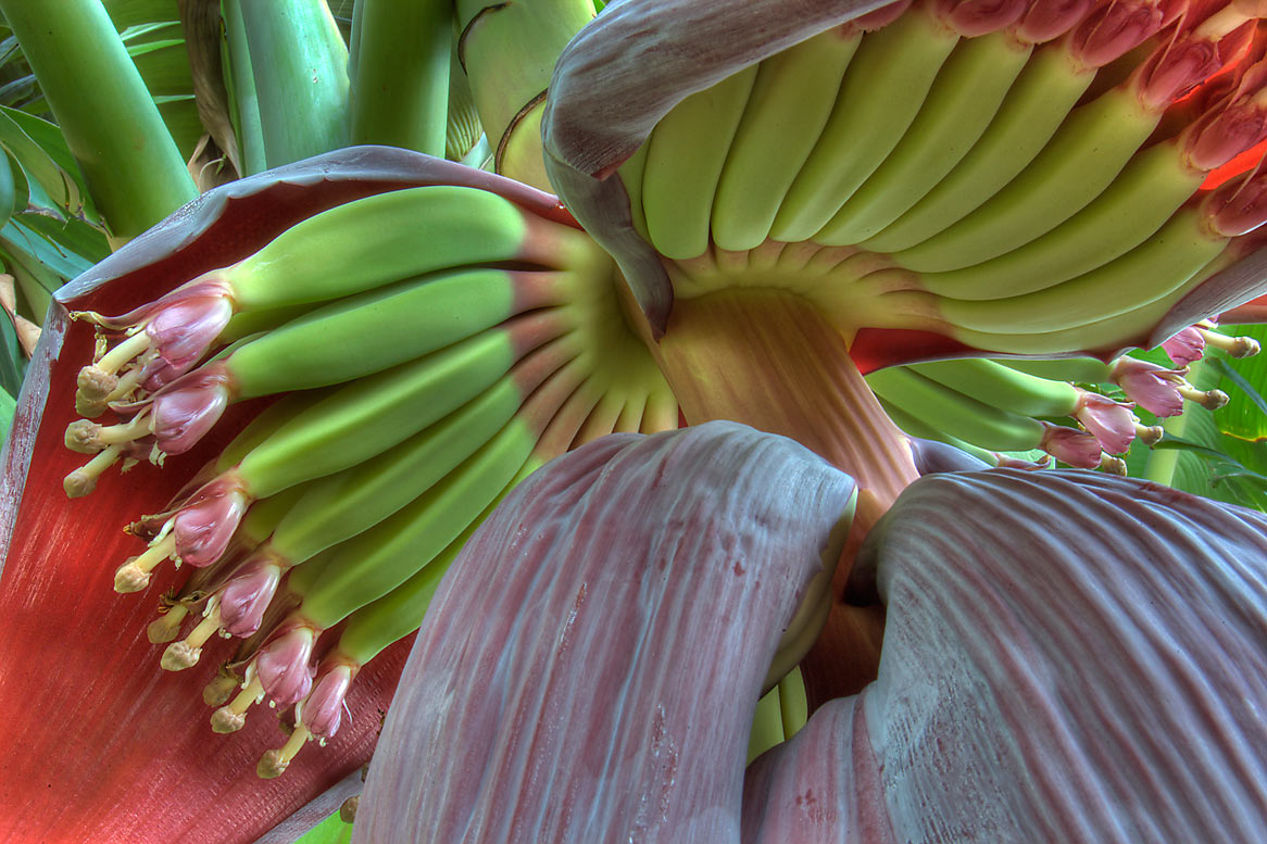 Banana flower and fruits in TAMU Horticultural...M University. College Station, Texas