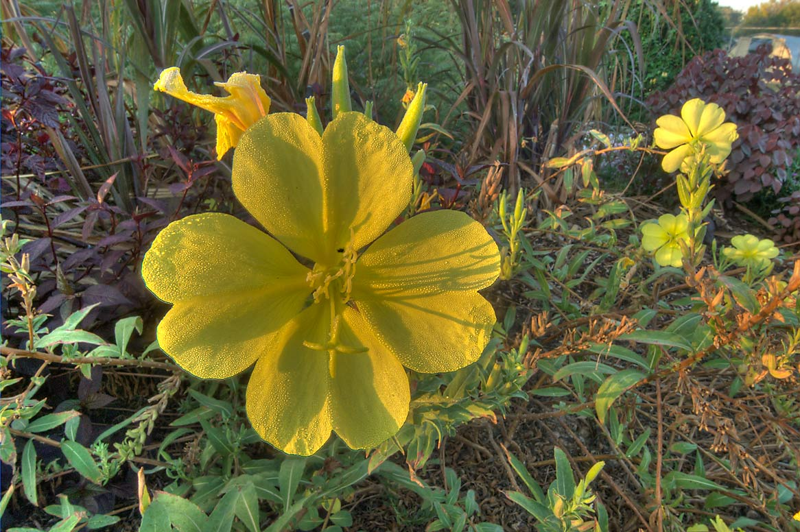 Large yellow flower of Hooker's evening primrose...M University. College Station, Texas