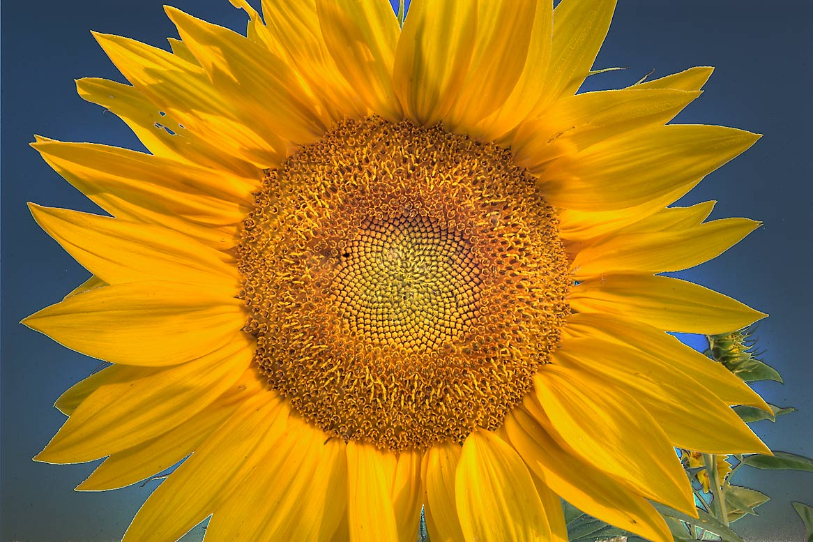 Sunflower head in TAMU Horticultural Gardens in...M University. College Station, Texas