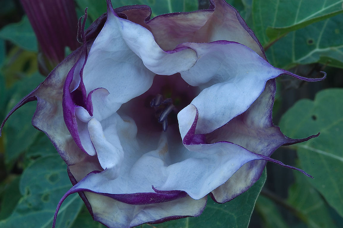 Datura metel (Purple Horn-of-Plenty, Jimpson Weed...M University. College Station, Texas
