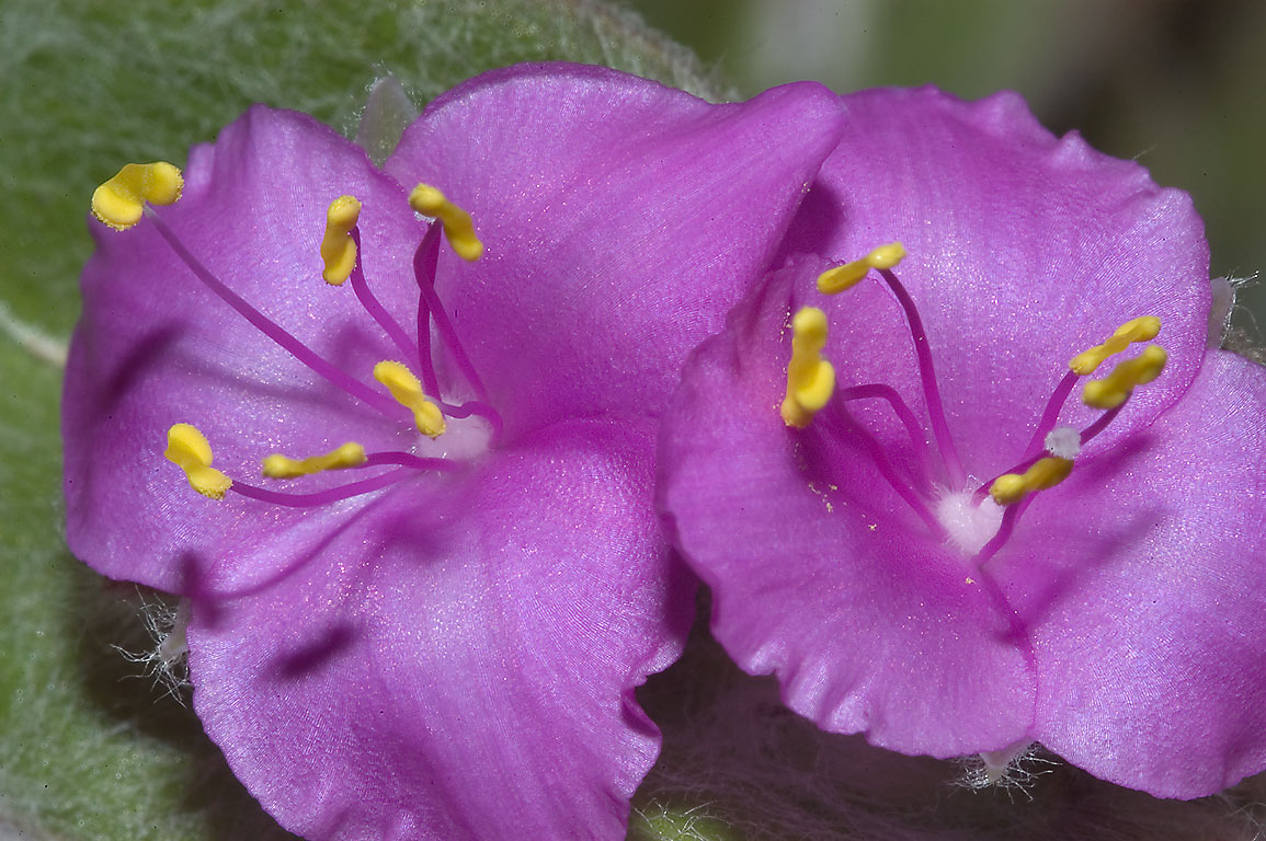 Tradescantia in TAMU Holistic Garden in Texas A&M University. College Station, Texas