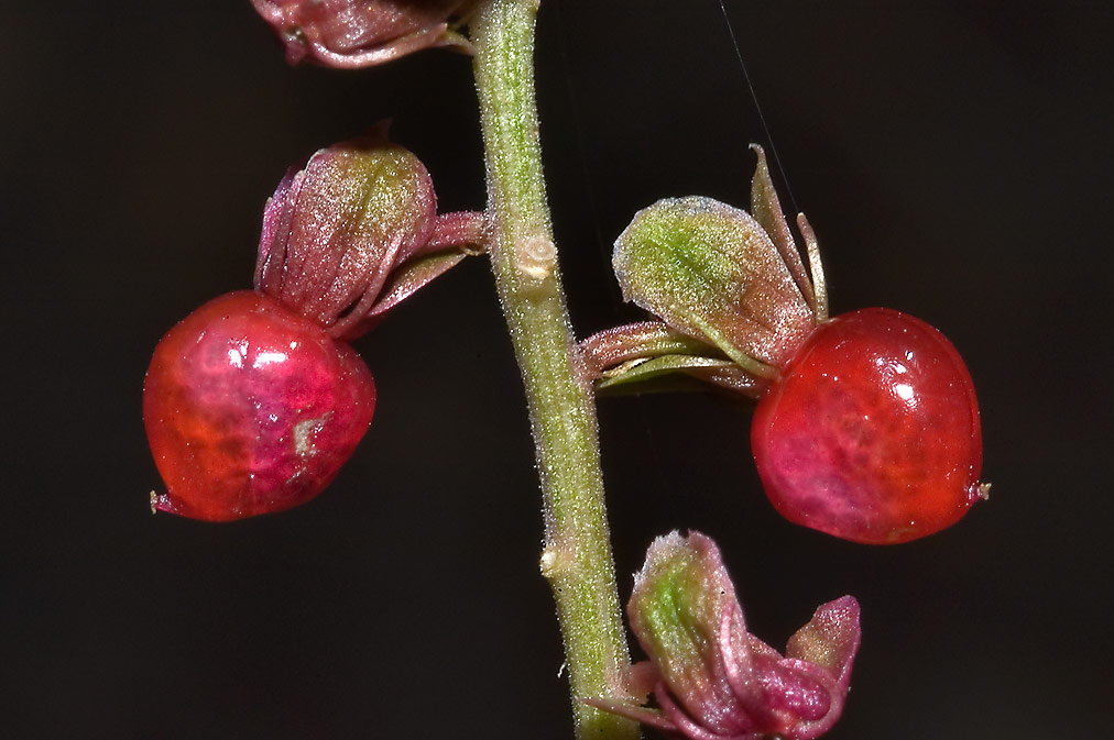 Small red berries of pigeon-berry (Rivina humilis...Falls State Park. Austin, Texas