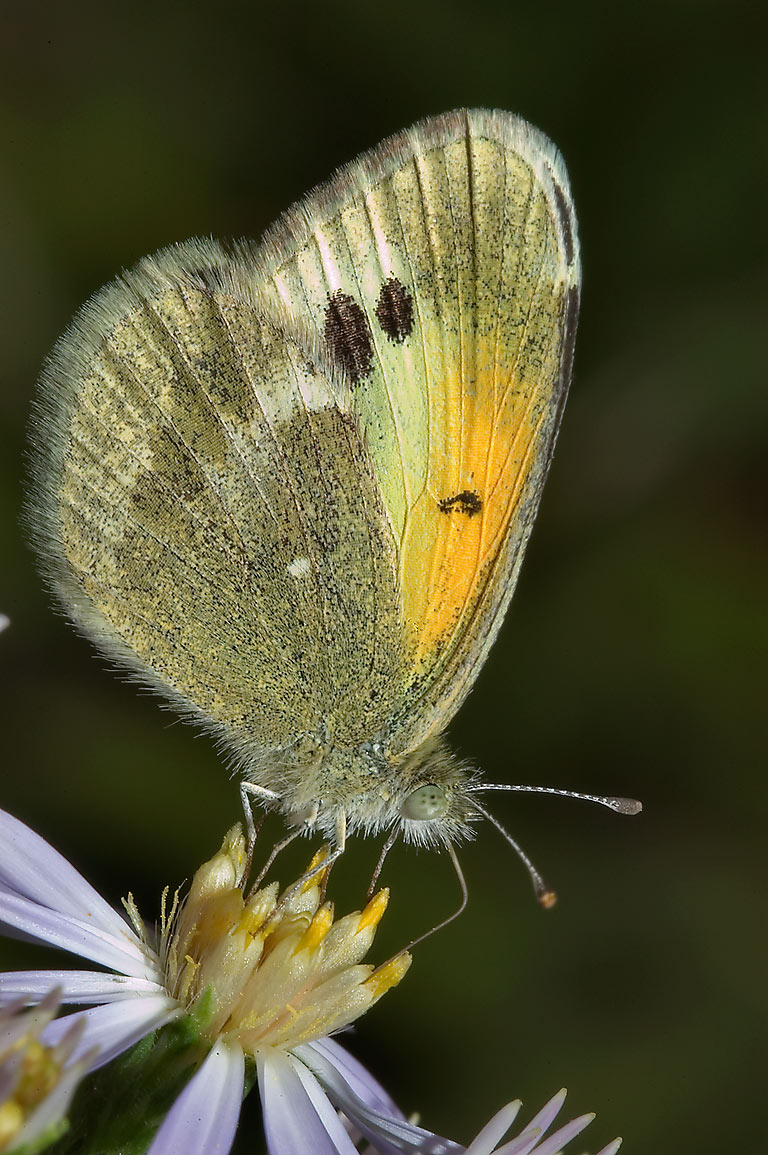 Dwarf yellow butterfly (Dainty Sulphur, Nathalis...Falls State Park. Austin, Texas