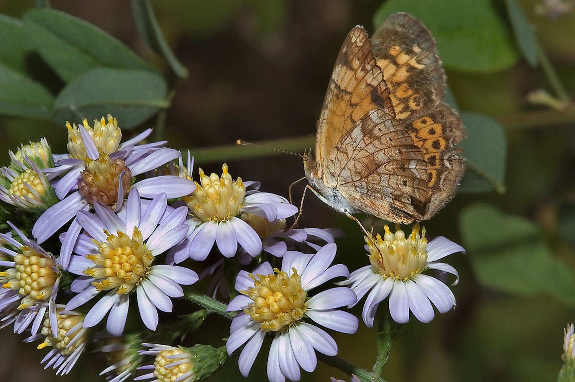 Texas aster with variegated fritillary butterfly...Falls State Park. Austin, Texas
