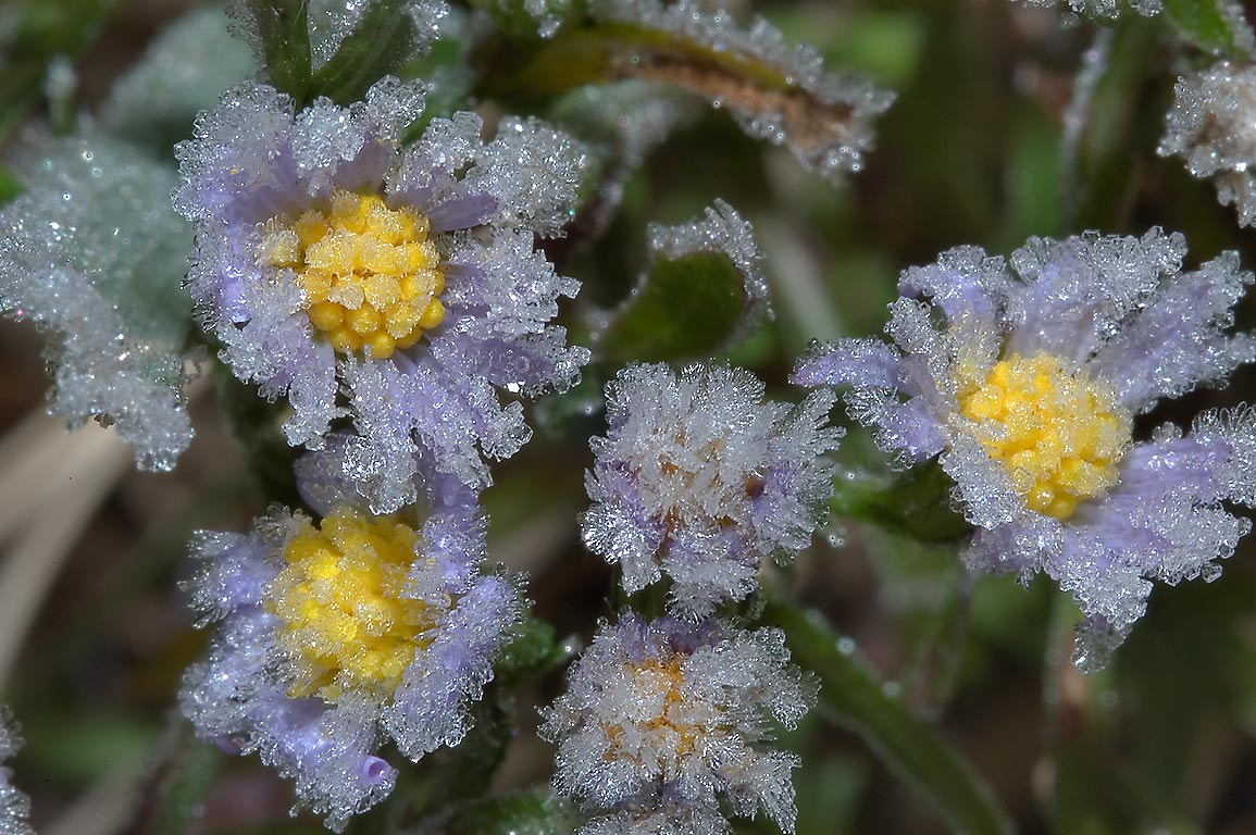 Lawn aster with crystals of ice in TAMU...M University. College Station, Texas