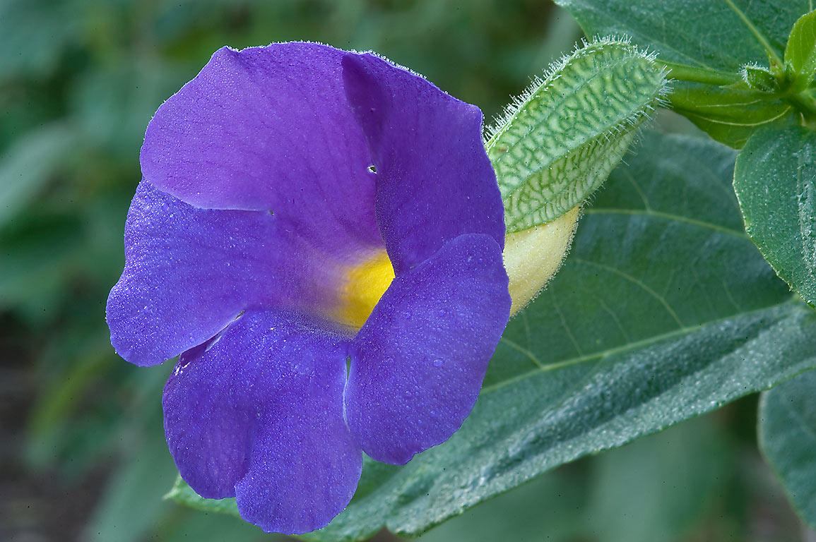 Bengal clock vine (blue trumpet vine, Thunbergia...M University. College Station, Texas