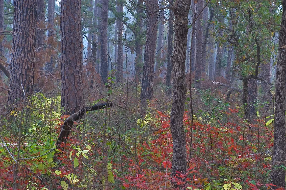 Red colors of sumach on Little Lake Creek Loop Trail in Sam Houston National Forest. Texas