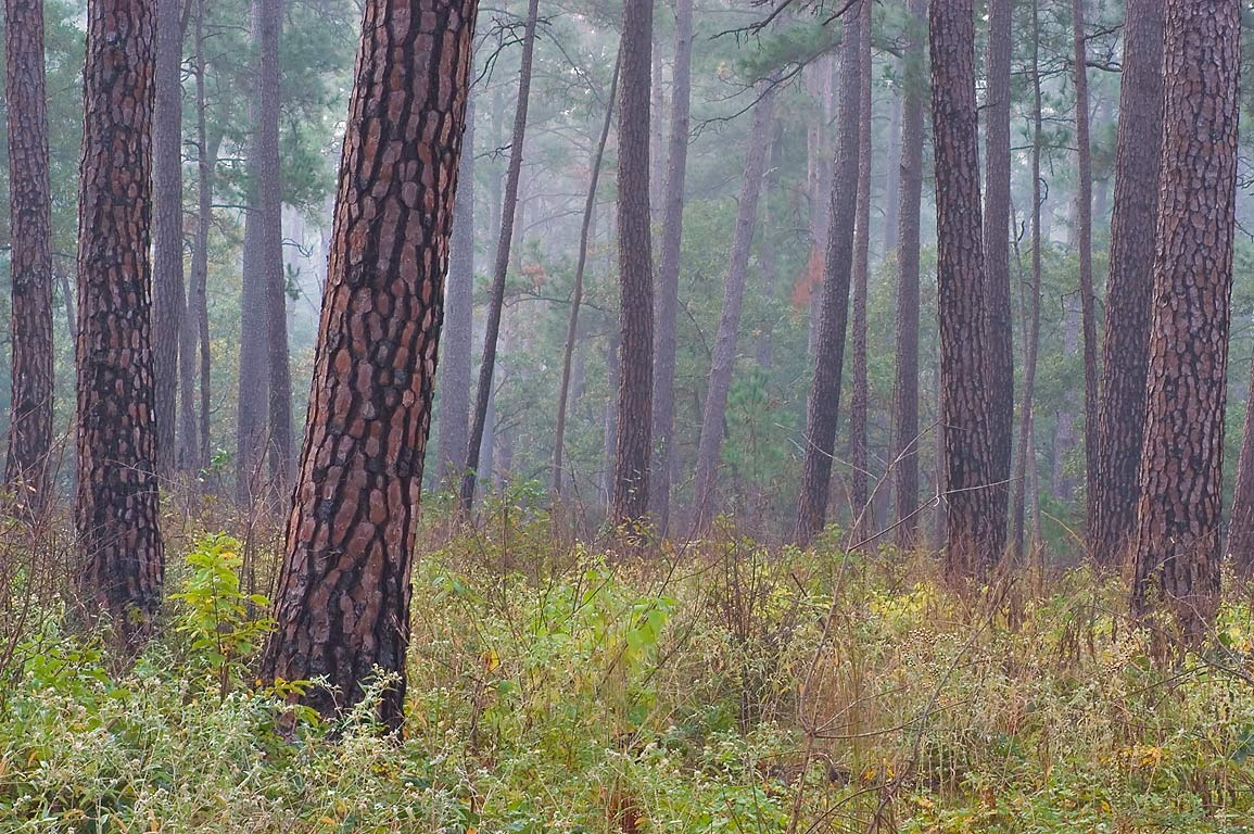 Pines in mist on Little Lake Creek Loop Trail in Sam Houston National Forest. Texas