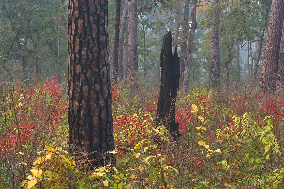 Burned pines on Little Lake Creek Loop Trail in Sam Houston National Forest. Texas