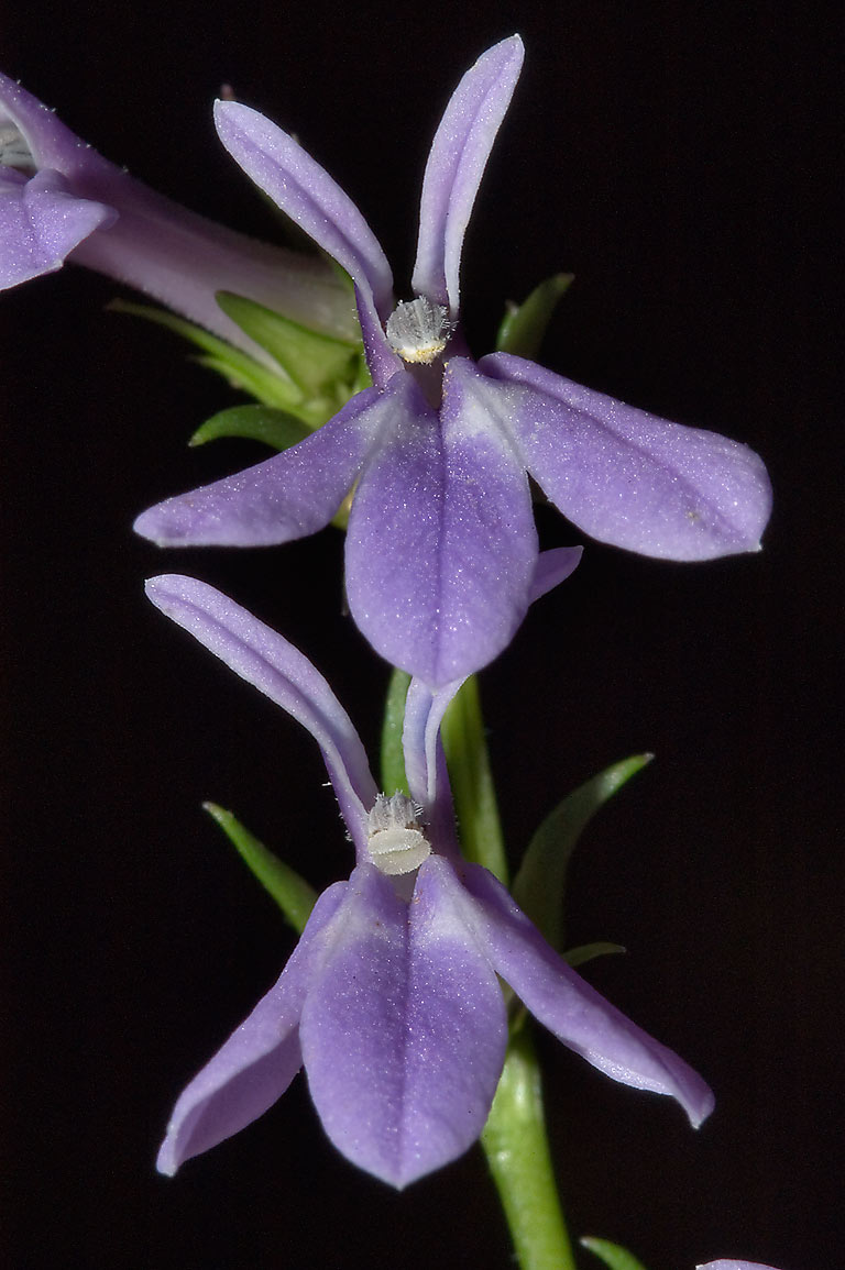 Slideshow 683-08: Blue flower of Purple dewdrop (Lobelia ...