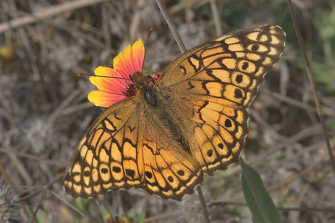 Variegated Fritillary (Euptoieta claudia...217, near Rd. 2562. Richards, Texas