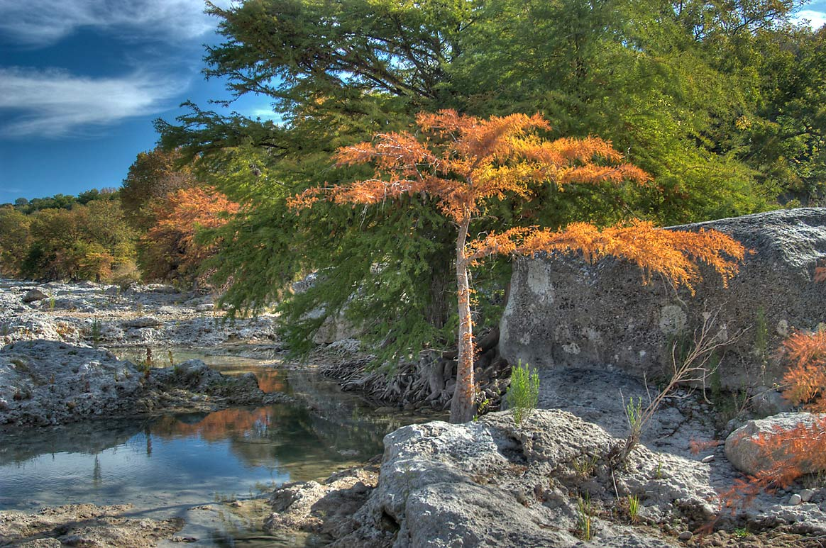 Fall colors of a cypress tree in Beach Area in...Falls State Park. Johnson City, Texas